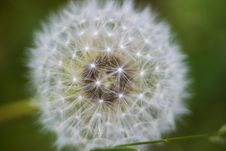 Free Dandelion Royalty Free Stock Images - 6367639