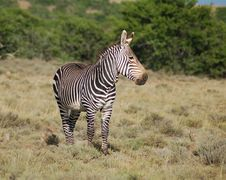 Free Cape Mountain Zebra (Equus Zebra) Royalty Free Stock Photos - 6368588