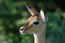Free Impala In Africa Royalty Free Stock Photo - 6369135