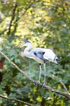 Free Heron Royalty Free Stock Image - 6369216