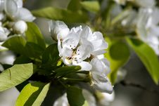 Free Blossoming Pear. Spring Stock Photo - 63602510