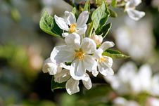 Free Flowering Apple. Spring Stock Images - 63602724