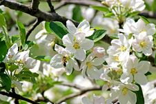 Free Blossoming Apple. Spring Royalty Free Stock Image - 63602886