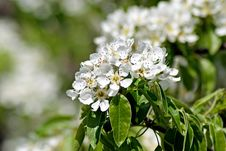 Free Blossoming Pear. Spring Stock Photography - 63603092