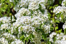 Free Blossoming Pear. Spring Stock Image - 63603351