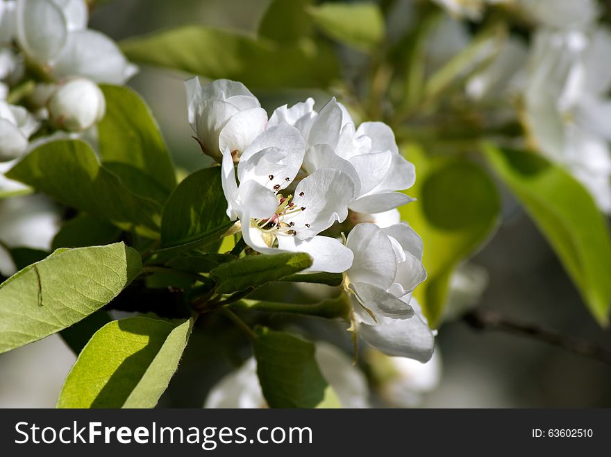 Blossoming Pear. Spring