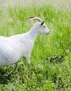 Free Goat Royalty Free Stock Photos - 6371438