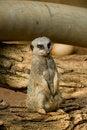 Free Single Meerkat Royalty Free Stock Photos - 6376098