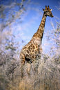 Free Giraffe In The Bush Royalty Free Stock Images - 6377839