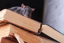Free Rat  In Library Royalty Free Stock Photography - 6370527
