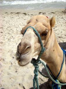 Free Tourism Camel Stock Images - 6370634
