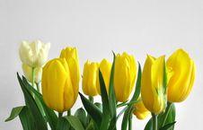Free Tulips Stock Image - 6370691