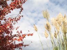Free Foxtails And Red Tree Royalty Free Stock Images - 6370719