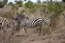 Free Cute Zebras Royalty Free Stock Images - 6370859