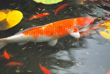 Free Colorful Koi Fish. Stock Photography - 6370972