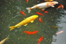 Free Colorful Koi Fish. Royalty Free Stock Images - 6371259