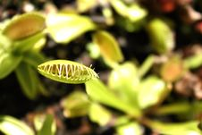 Free Flytrap S Mouth Royalty Free Stock Image - 6372206