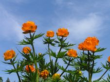 Free Orange Flowers (globe-flower) Blue Sky Royalty Free Stock Photos - 6372858