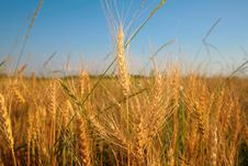 Free Wheaten Field Royalty Free Stock Photography - 6373157
