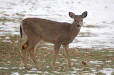 Free Doe In Winter Royalty Free Stock Images - 6373859