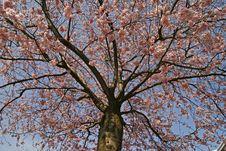 Free Prunus, Japanese Cherry Tree Royalty Free Stock Image - 6373976