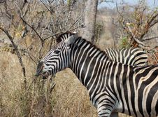 Free Burchell S Zebra (Equus Quagga Burchelli) Stock Photo - 6375750