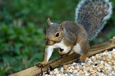 Free Gray Squirrel Stock Image - 6375921