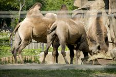 Free Camels Eating Grass Stock Photography - 6376022