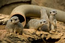 Free Set Of Meerkats Royalty Free Stock Photography - 6376027