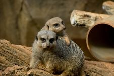 Free Two Meerkats Royalty Free Stock Photography - 6376057