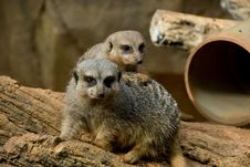 Free Meerkats At The Zoo Royalty Free Stock Images - 6376069