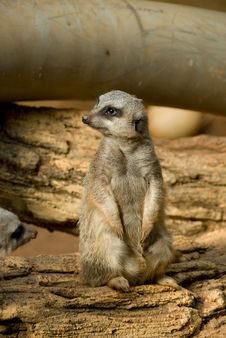 Free Single Meerkat Royalty Free Stock Photography - 6376107