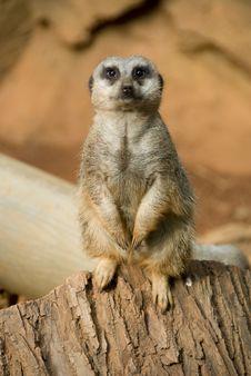Free Meerkat Sitting Stock Image - 6376151