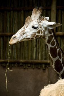 Free Giraffe Eating Stock Images - 6376164