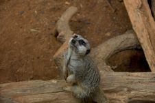 Free Meerkat Looking Up Royalty Free Stock Photo - 6376175