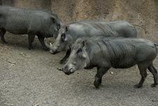 Free Three Warthogs Royalty Free Stock Image - 6376236