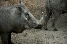 Free One Warthog Stock Photos - 6376263