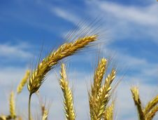 Free Wheat Ears Royalty Free Stock Images - 6376379