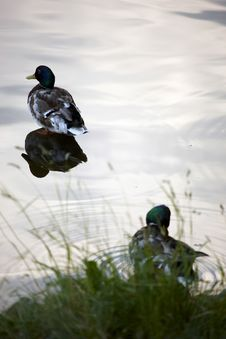 Free Duck In The Pond Royalty Free Stock Photo - 6376985