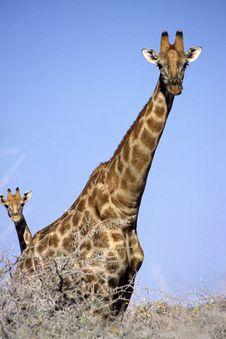 Free Giraffe Family Stock Images - 6377874