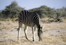 Free Lonely Zebra Royalty Free Stock Photography - 6377897