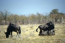 Free Gnu In The Bush Royalty Free Stock Images - 6378519