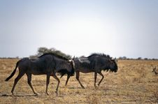 Free Gnu In The Bush Royalty Free Stock Images - 6378539