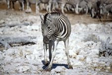 Free Lonely Zebra Stock Photo - 6378540