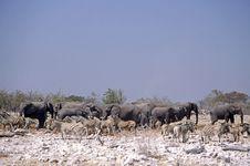 Free Zebras And Elephants Stock Photos - 6378733