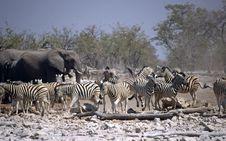 Free Zebras And Elephants Royalty Free Stock Image - 6378736