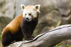 Free Red Panda Stock Photos - 6378813