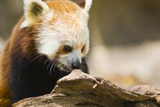 Free Red Panda Stock Photo - 6378830
