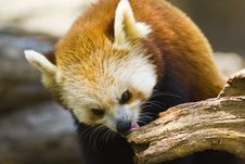 Free Red Panda Royalty Free Stock Image - 6378856