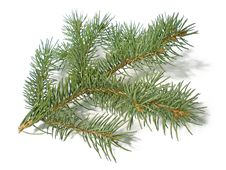 Free Pine Branch Royalty Free Stock Photo - 6378985